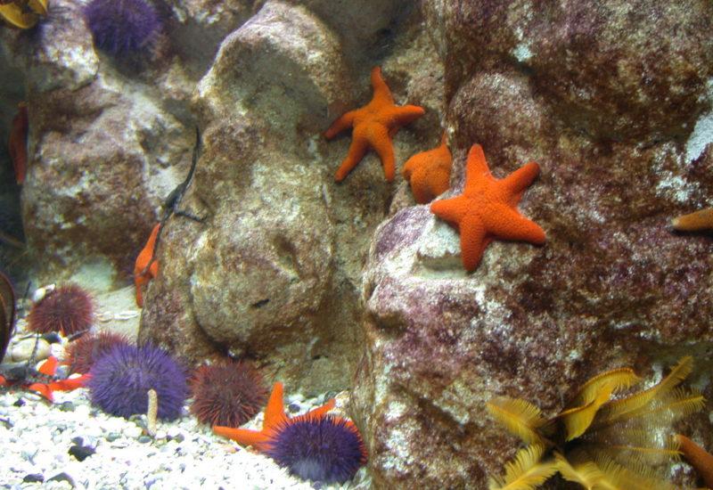 Seesterne im Aquarium